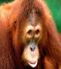 Being_Coy_Sumartran_Orangutan_1440x1080